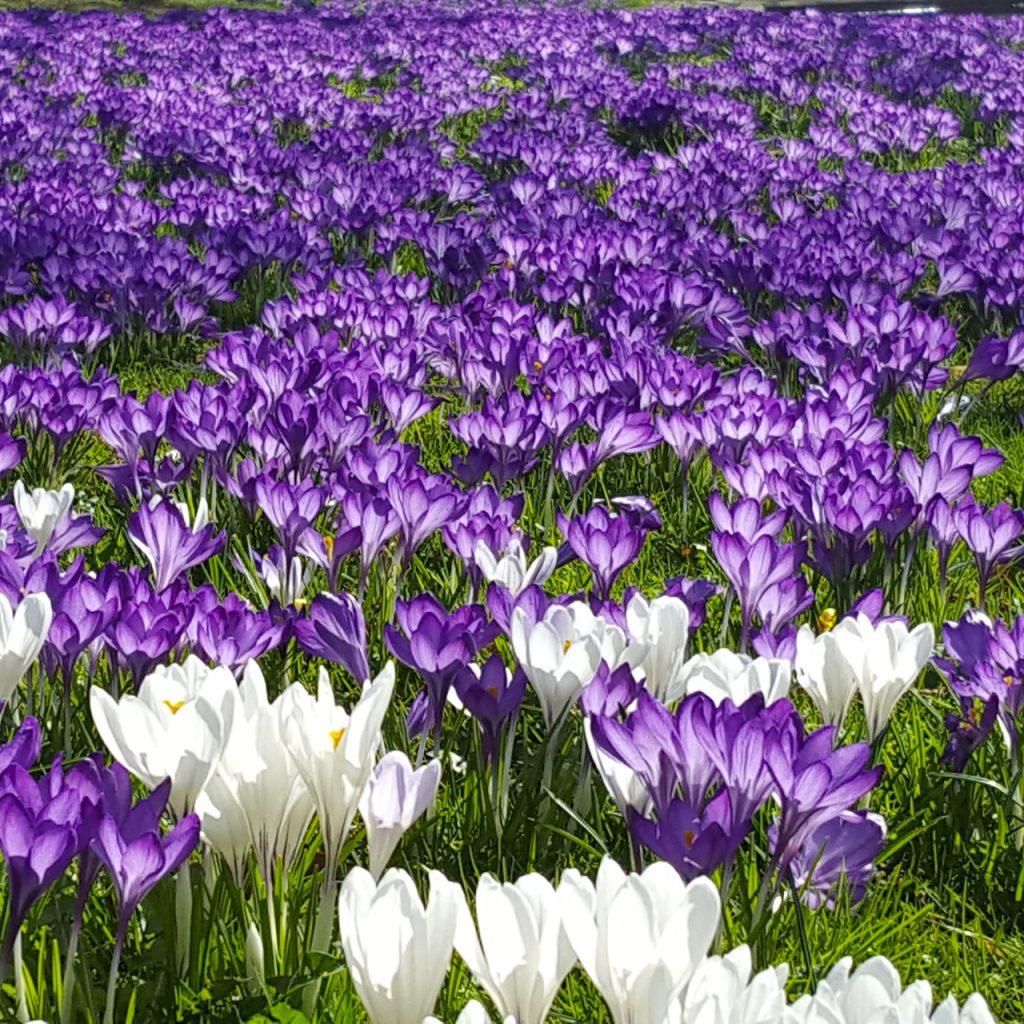 Krokusse, lila und weiß