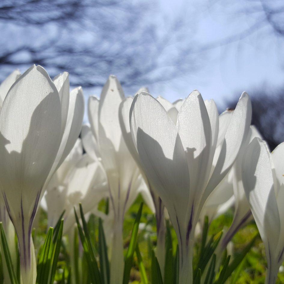 weiße Krokusse
